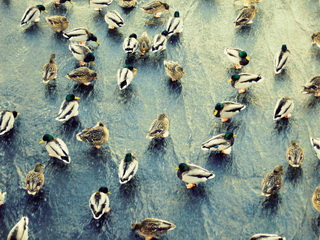 Ducks on water / Shop of little joys