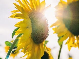 Цветы солнца / Магазин маленьких радостей