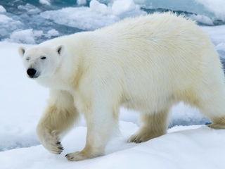 Белый медведь / Магазин маленьких радостей
